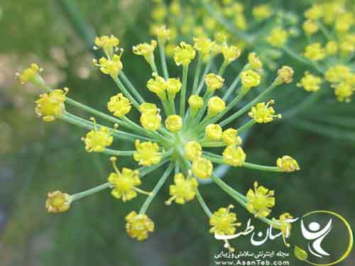 Fennel-Blossoms