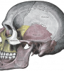 1284961406-Gray188-Skull-LeftLateral