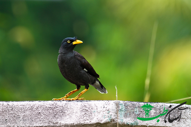 مرغ مینا -white vented myna (Acridotheres grandis) on a concrete block with green blurry background